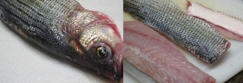 Striped Bass-horz